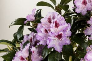Rhododendron Blue Peter • Rhododendron Hybride Blue Peter