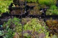 Garten-Wiesenraute Hewitt´s Double • Thalictrum delavayi Hewitt´s Double
