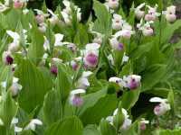 Frauenschuh Ulla Silkens Orchidee • cypripedium Ulla Silkens