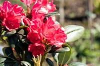 Rhododendron Lampion • Rhododendron yakushimanum Lampion
