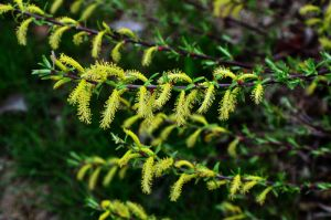 Rosmarinweide • Salix rosmarinifolia
