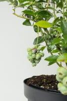 Heidelbeere / Blaubeere Blue crop • Vaccinium corymbosum Bluecrop