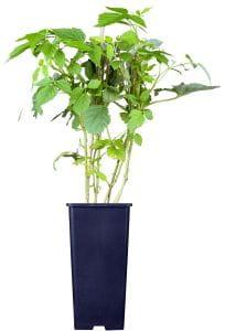 Himbeere Willamette • Rubus idaeus Willamette