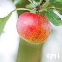 Apfel Ingrid Marie • Malus Ingrid Marie