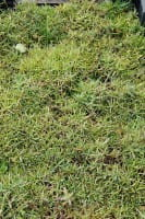 Pfingst-Nelke 'Pink Jewel' - Dianthus gratianopolitanus 'Pink Jewel'l