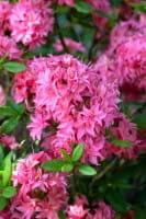 Rhododendron Homebush • Rhododendron luteum Homebush