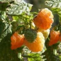 Himbeere Fallgold • Rubus idaeus Fallgold