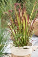 Garten-Blutgras Red Baron • Imperata cylindrica Red Baron