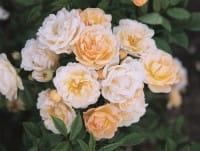 Rose Ghislaine de Féligonde • Rosa Ghislaine de Féligonde