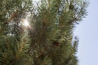 Waldkiefer Norwegen • Pinus sylvestris Norske Typ