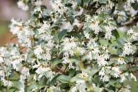 Frühlingsduftblüte • Osmanthus burkwoodii