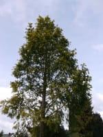 Urwelt-Mammutbaum Gold Rush • Metasequoia glyptostroboides Gold Rush