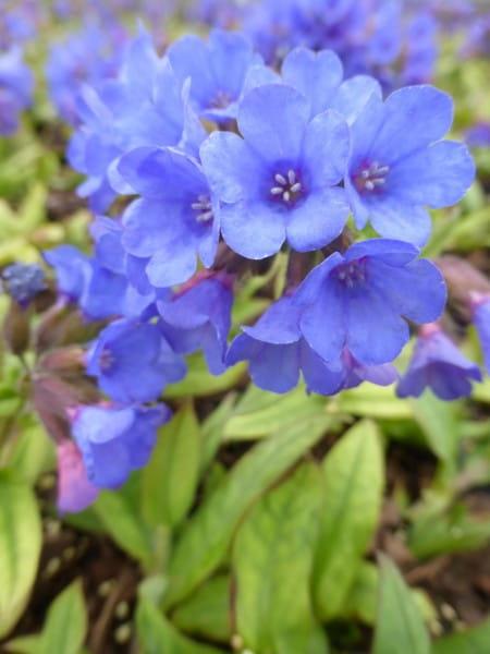 Schmalblättriges Garten-Lungenkraut Blaues Meer • Pulmonaria dacica Blaues Meer