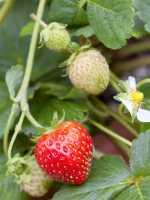 Zier-Erdbeere • Fragaria x ananassa, rosa