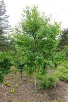 Kupferbirke • Betula albosinensis
