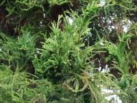 Hahnenkamm-Sicheltanne • Cryptomeria japonica Cristata