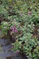Garten-Blüten-Dost Herrenhausen • Origanum laevigatum Herrenhausen