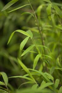 Bambus Great Wall • Fargesia nitida Great Wall