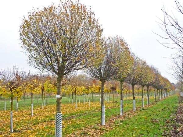 Steppenkirsche Globosa • Prunus fruticosa Globosa