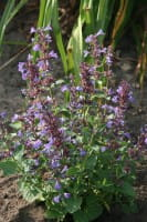 Katzenminze Blue Danube • Nepeta grandiflora Blue Danube