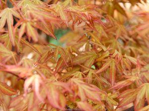Fächerahorn Katsura • Acer palmatum Katsura