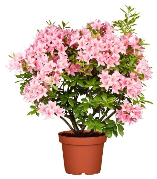 Rhododendron viscosum Jolie Madame • Rhododendron viscosum Jolie Madame