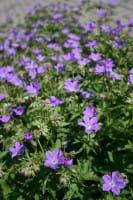 Storchschnabel Mayflower • Geranium sylvaticum Mayflower