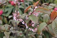 Traubenkirsche Colorata • Prunus padus Colorata