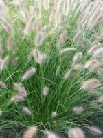 Garten-Federborstengras Herbstzauber • Pennisetum alopecuroides Herbstzauber
