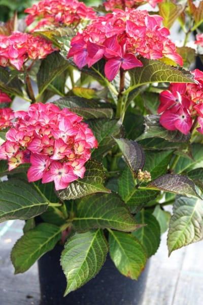 Bauernhortensie Red Angel • Hydrangea macrophylla Red Angel
