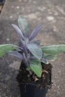 Garten-Salbei Purpurascens - Salvia officinalis Purpurascens