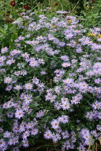 Frikarts Garten Aster • Aster x frikartii Mönch