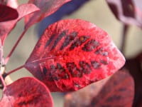 Roter Perückenstrauch Royal Purple • Cotinus coggygria Royal Purple