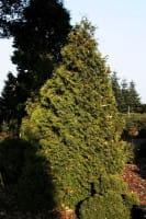 Zwerg-Lebensbaum • Thuja occidentalis Recurva nana