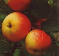 Apfelbaum Jamba • Malus Jamba