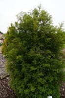 Sumpfzypresse • Taxodium distichum