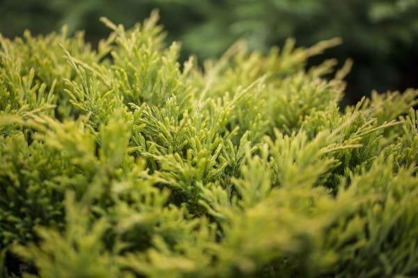 Teppichwacholder Limeglow • Juniperus horizontalis Limeglow