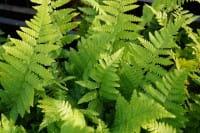 Wurmfarn • Dryopteris filix mas