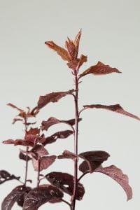 Blutpflaume • Prunus cerasifera Nigra