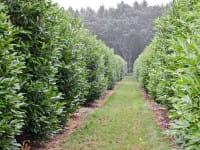 Kaukasischer Kirschlorbeer • Prunus laurocerasus Caucasica