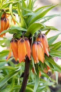 Kaiserkrone • Fritillaria imperialis Rubra Maxima