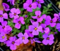 Garten Blaukissen • Aubrieta x cult. Blaumeise