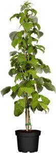 Himbeere Schönemann • Rubus idaeus Schönemann