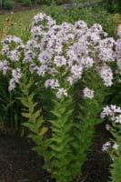 Garten Dolden Glockenblume • Campanula lactiflora Loddon Anne