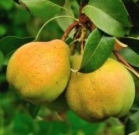 Birne Gellerts Butterbirne • Pyrus communis Gellerts Butterbirne