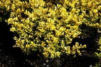 Goldgelber Bergilex • Ilex crenata Golden Gem