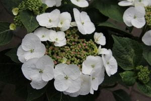 Bauernhortensie Libelle • Hydrangea macrophylla Libelle