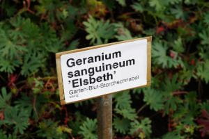 Storchschnabel Elsbeth • Geranium sanguineum Elsbeth
