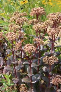 Großes Garten-Fettblatt • Sedum telephium Matrona