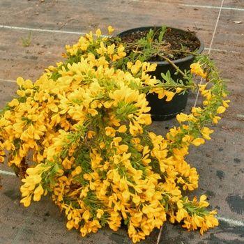 Kriechginster • Cytisus decumbens